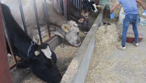 Sağlık Müdürlüğü korona mağduru inekler için özel ekip kurdu