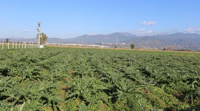 Efeler Belediyesi enginar üretimine başladı