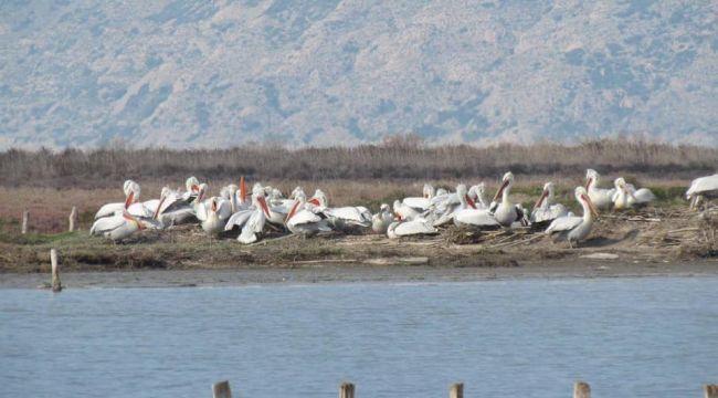 Tepeli pelikanlar için yapay yuva platformları yapıldı
