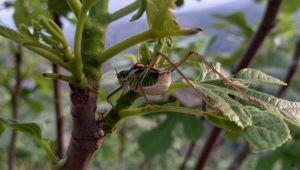 Aydın'da incir bahçeleri çekirge istilasına uğramaya başladı