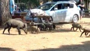 Milli Park'taki domuzlar tatilcilerin arasında dolaşmaya başladı